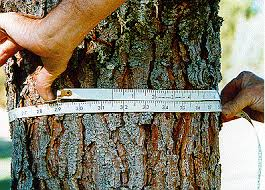 Person Measures Trunk of Tree Circumference